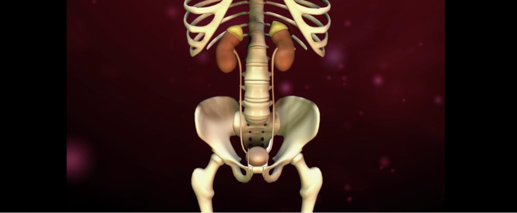 Kidneys1.png