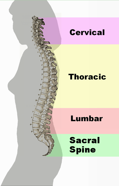 Spinal_column_curvature_2011.png